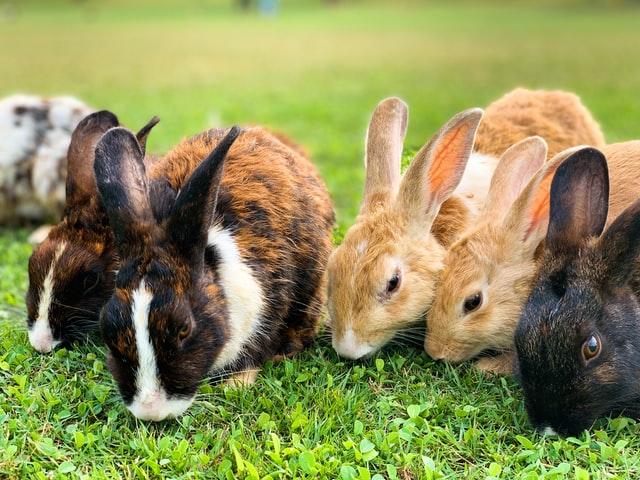 CBD für Kaninchen