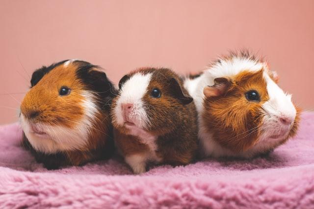 CBD for guinea pigs